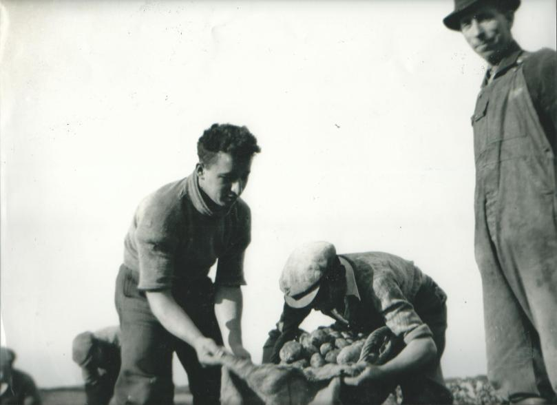 Millisle potato picking